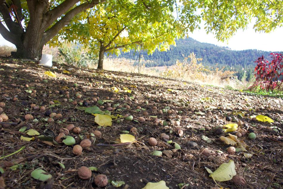 walnuts, quillisascut, farm school, cookery