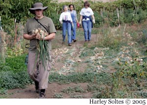 Dylan harvests onions